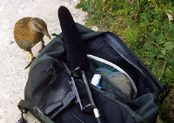 Inquisitive Weka with Sennheiser Recording Equipment